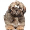 Shih Tzu hondenvoer
