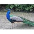 Sierhoender vogelvoer